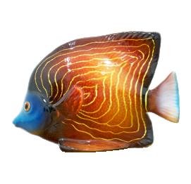 Angel emperor fish